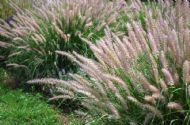 Stipa Arundinacea 50 Seeds -Shimmering/Arching/Feathery